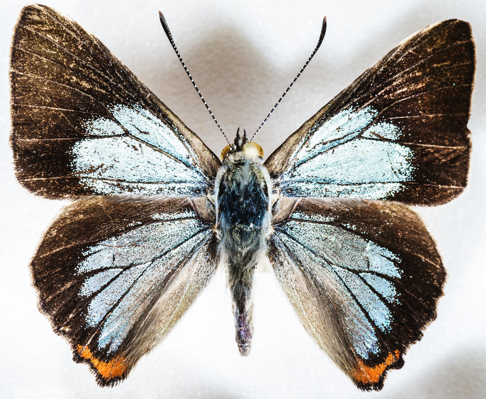 Moonlight Jewel, Hypochrysops delcia