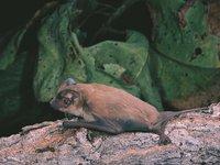 Beccari's Freetail Bats, Mormopterus beccarii