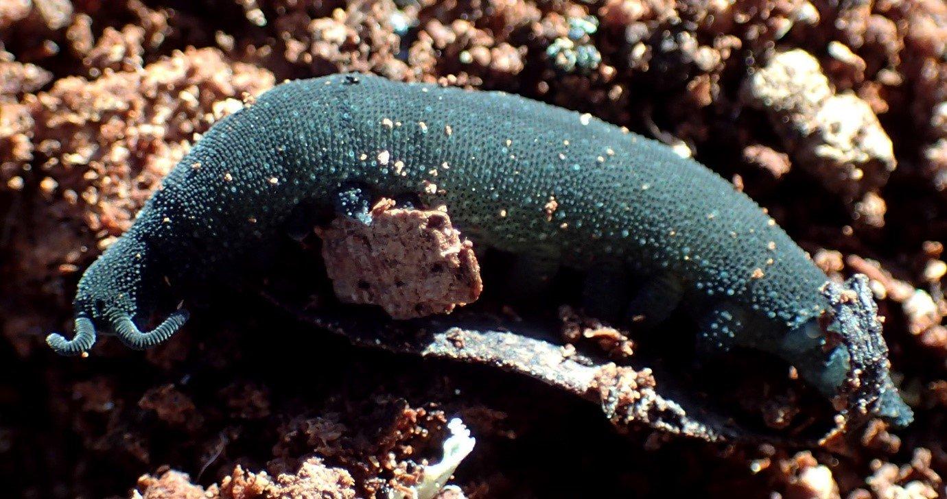 Mt Canobolas velvet worm, Cephalofovea pavimenta