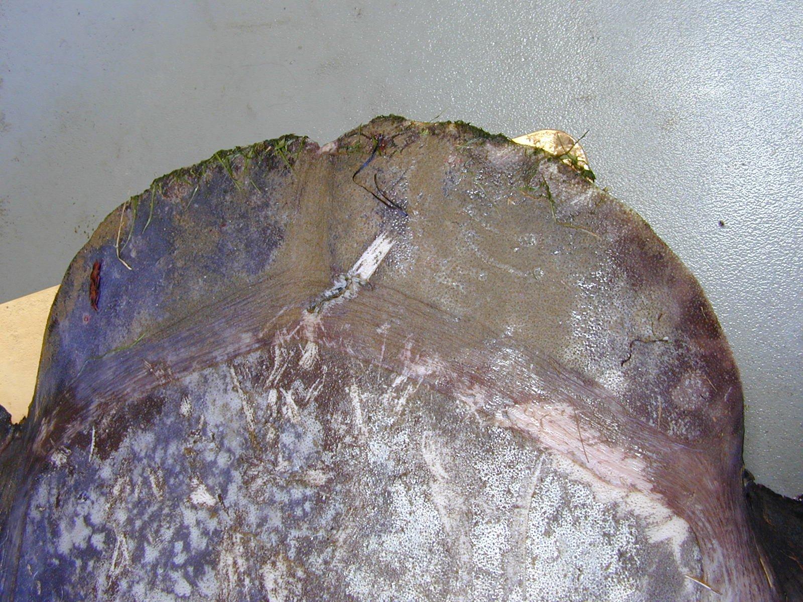 Hoodwinker Sunfish Mola tecta I.41536