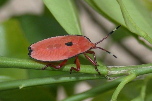 Musgraveia sulciventris