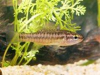Balston's Pygmy Perch, Nannatherina balstoni