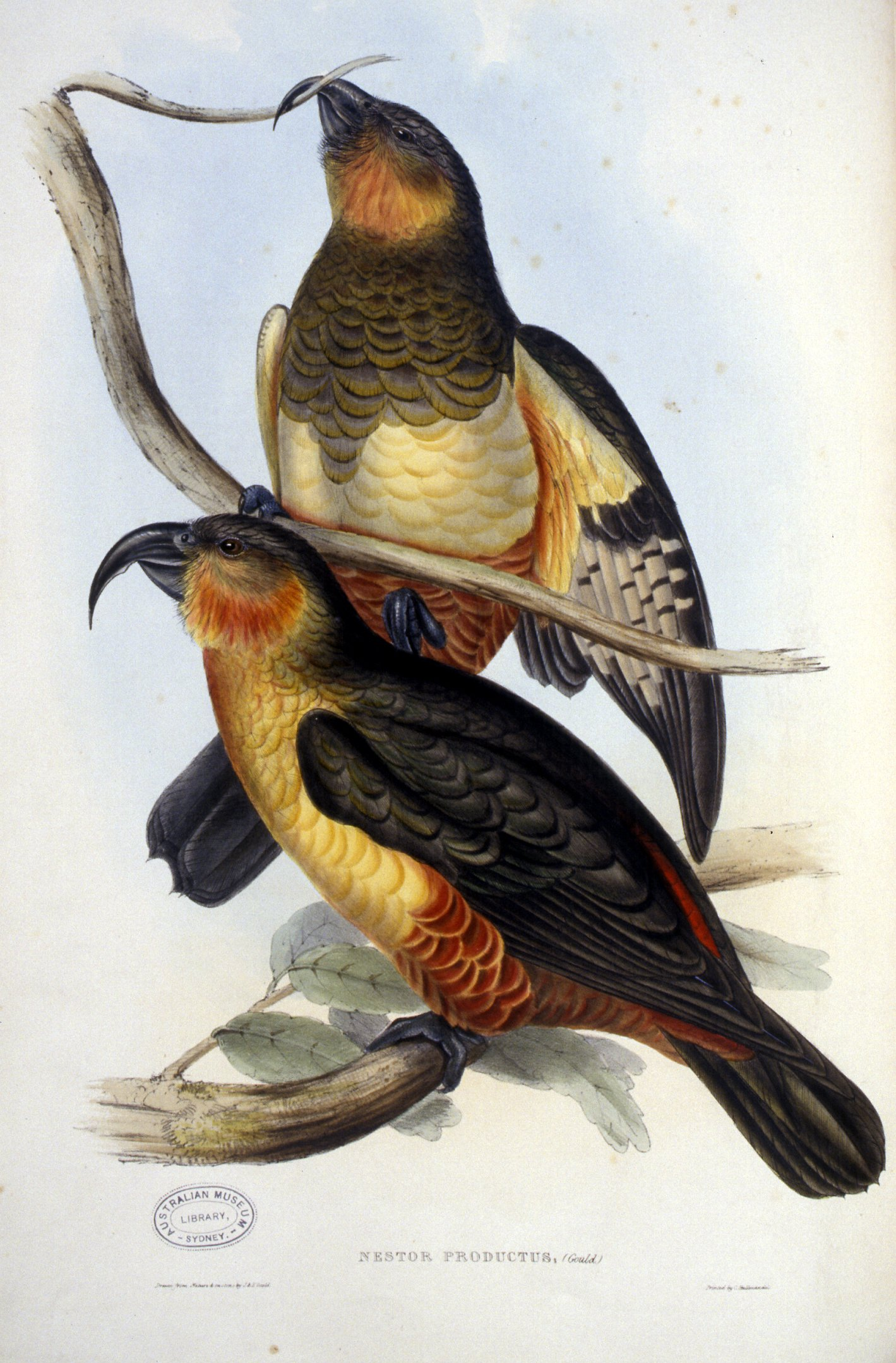 Nestor Productus in The Birds of Australia: in seven volumes by John Gould