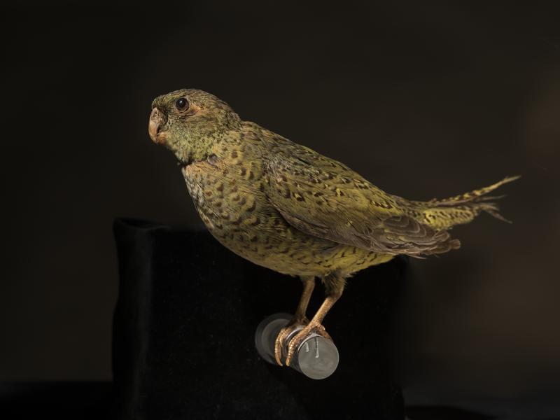 Night Parrot Pezoporus occidentalis