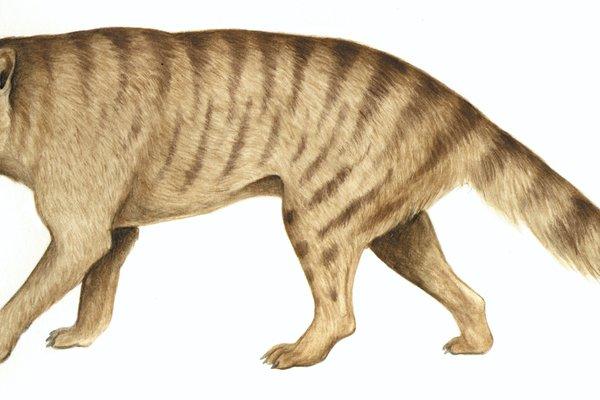Dickson's Thylacine (Nimbacinus dicksoni)