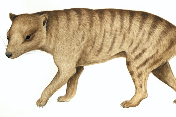 Australia's extinct animal, Dickson's Thylacine (Nimbacinus dicksoni)