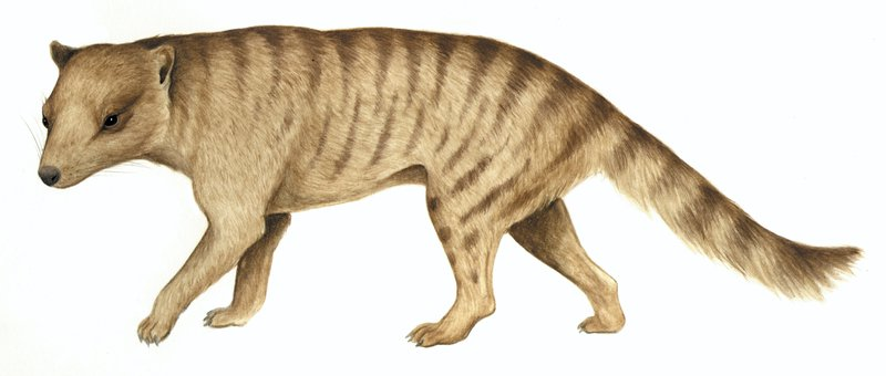Australia's extinct animal, Dickson's Thylacine (Nimbacinus dicksoni)
