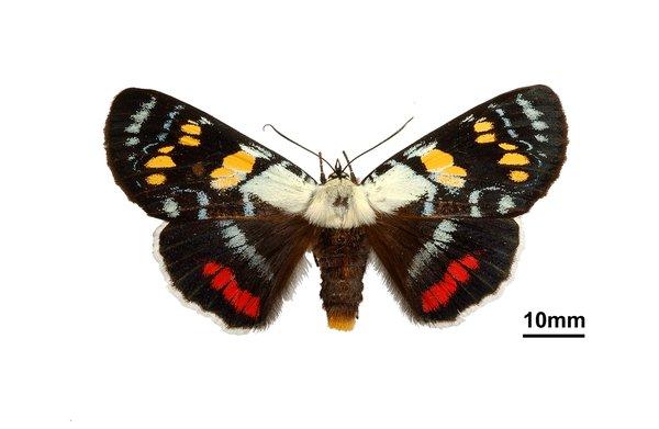 Joseph's coat moth