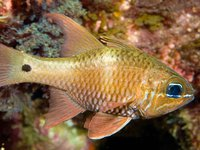 Norfolk Cardinalfish, <i>Apogon norfolcensis</i>