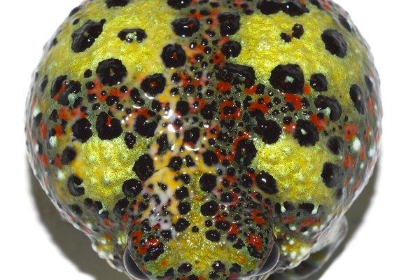 Crucixfix frog
