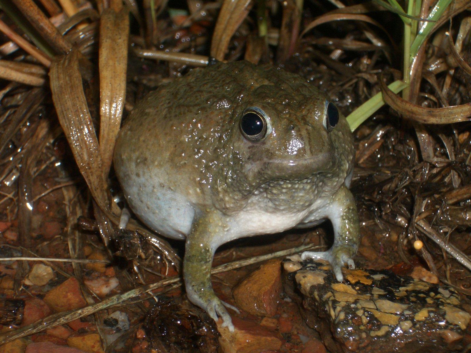 Northern Spadefoot Frog