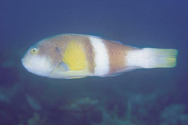 Notolabrus tetricus