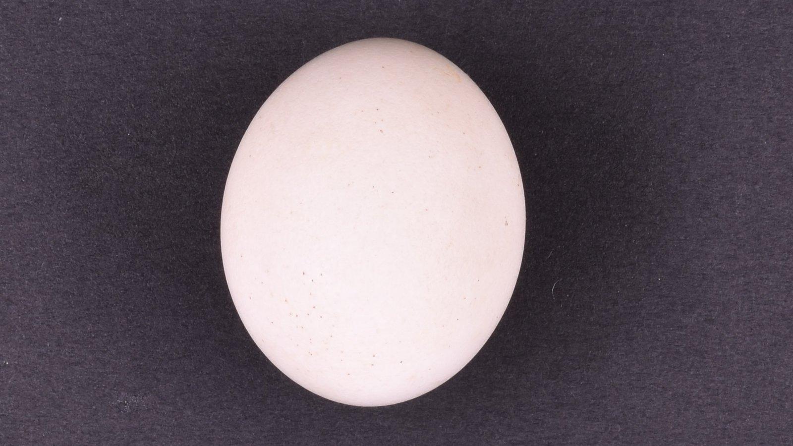 Eastern Rosella (Platycercus eximius) egg