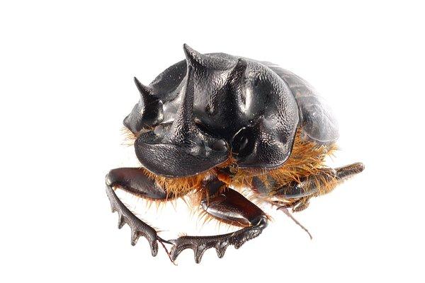 Dung Beetle, Oblique