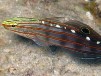 Old Glory Goby, <i>Amblygobius rainfordi</i>