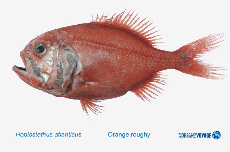 Orange Roughy, <i>Hoplostethus atlanticus</i>