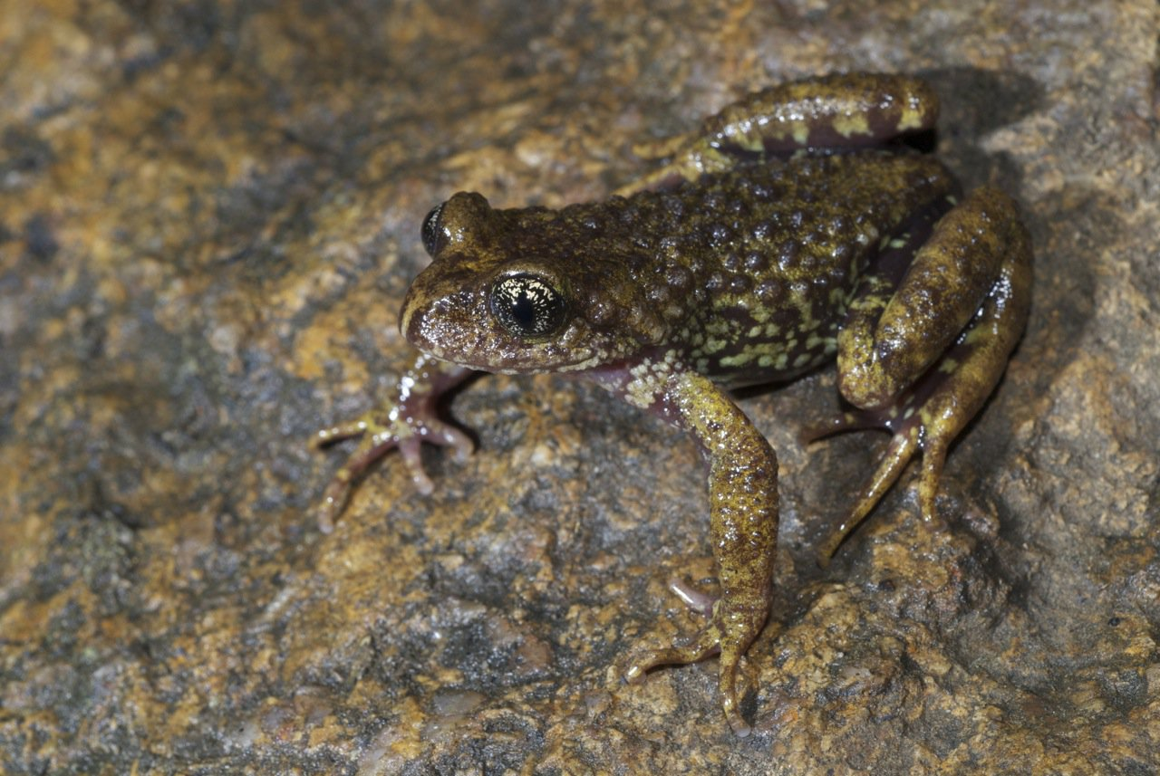 Sterling's Toothed Toad