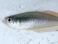 Ornate Rainbowfish, <i>Rhadinocentrus ornatus<i>