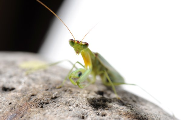 Orthodera ministralis (green mantid)