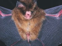 Fawn Leaf-nosed Bat