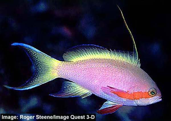 Pacific Basslet, <i>Pseudanthias huchtii</i>