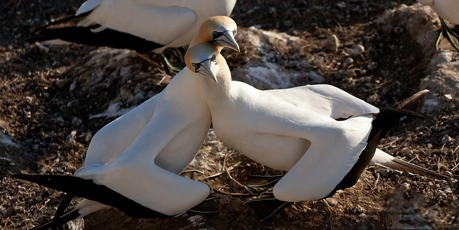 Pair of Australasian Gannets