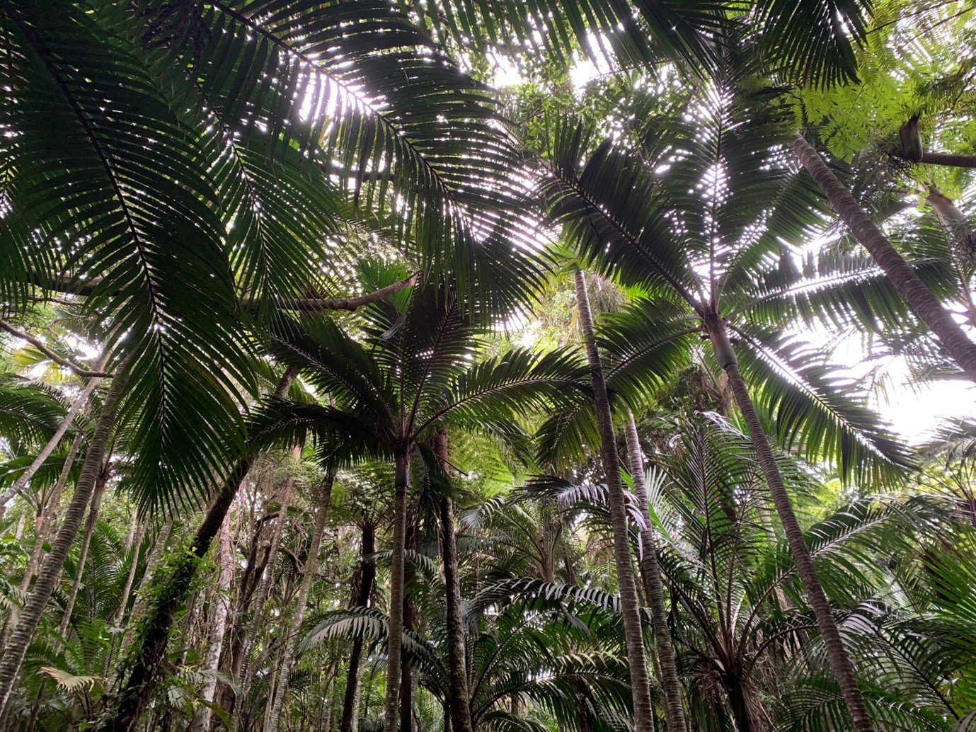 Palm forest on Norfolk Island.