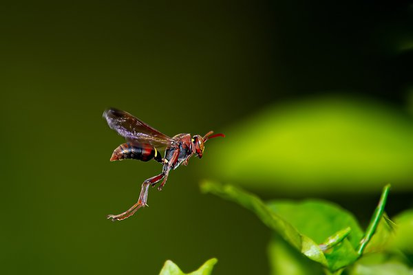 White faced brown paper wasp