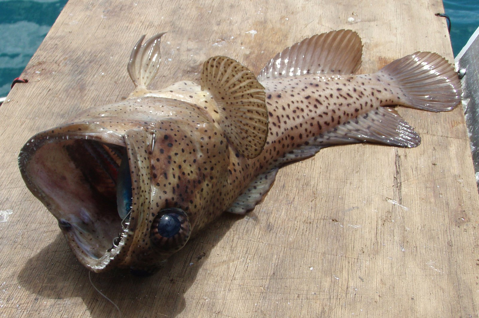 Papuan Jawfish, Opistognathus papuensis