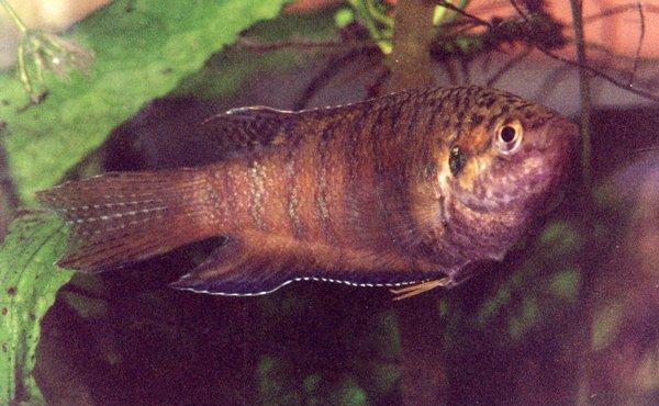 Paradise Fish, Macropodus opercularis