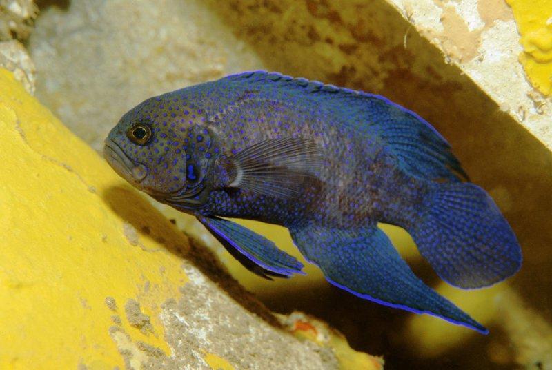 <i>Paraplesiops meleagris </i>