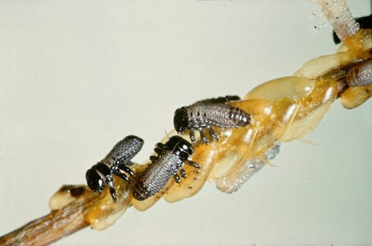 Larvae of Paropsis charybdis