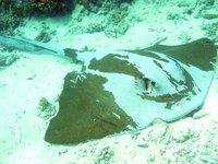Pastinachus sephen