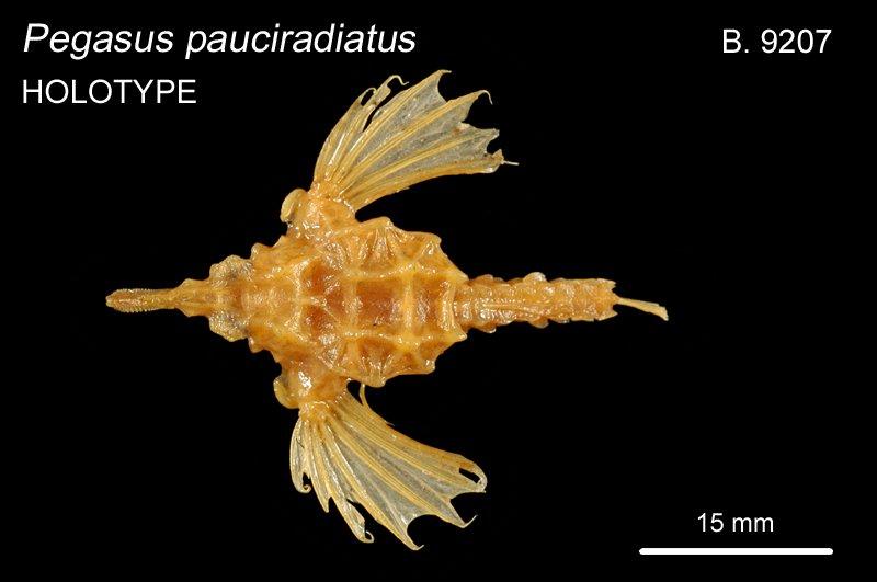 Pegasus pauciradiatus B.9207