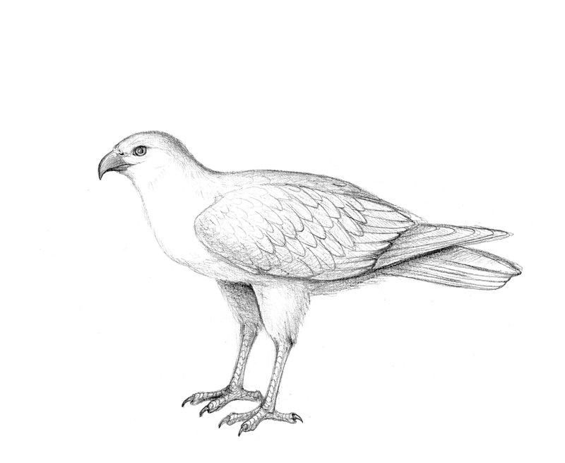 Flexiraptor <i>Pengana robertbolesi</i>