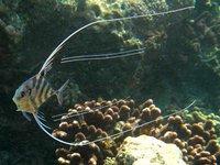 Pennantfish, Alectis ciliaris