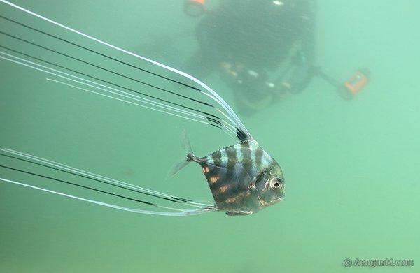 Pennantfish , Alectis ciliaris