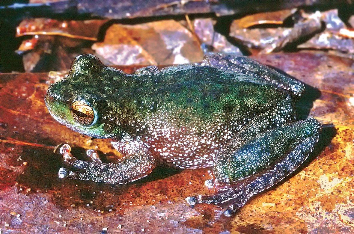 Peppered Tree Frog Litoria piperata