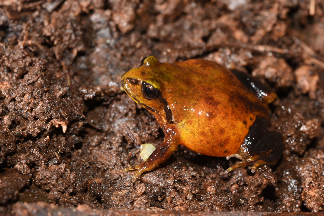 Mountain Frog (Philoria kundagungan).