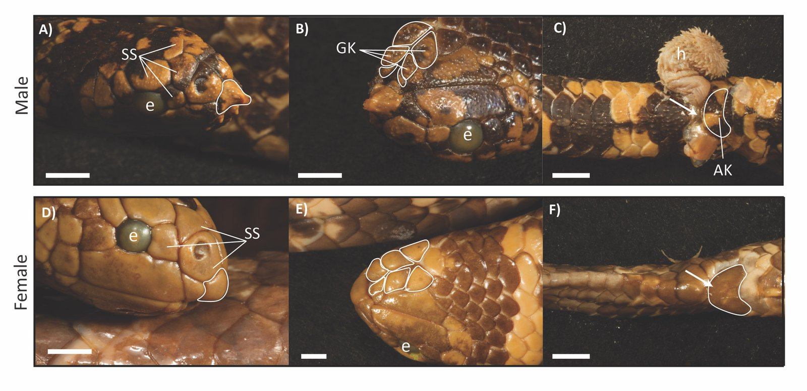Comparison of male and female turtle-headed sea snakes. Males have A) a rostral spine, B) enlarged genial knobs (GK), and C) anal knobs (AK). Males also have A) larger scale receptors (SS). H = hemipene, which is a male reproductive organ