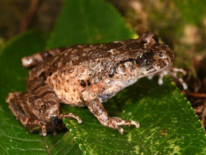 A female of the new species, Mount Pu Ta Leng leaf-litter frog (Leptobrachella graminicola).