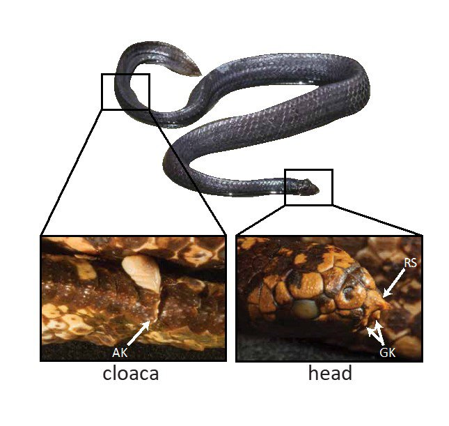 Positioning of the scale structures on a male turtle-headed sea snake. RS = rostral spine and GK = genial knob.