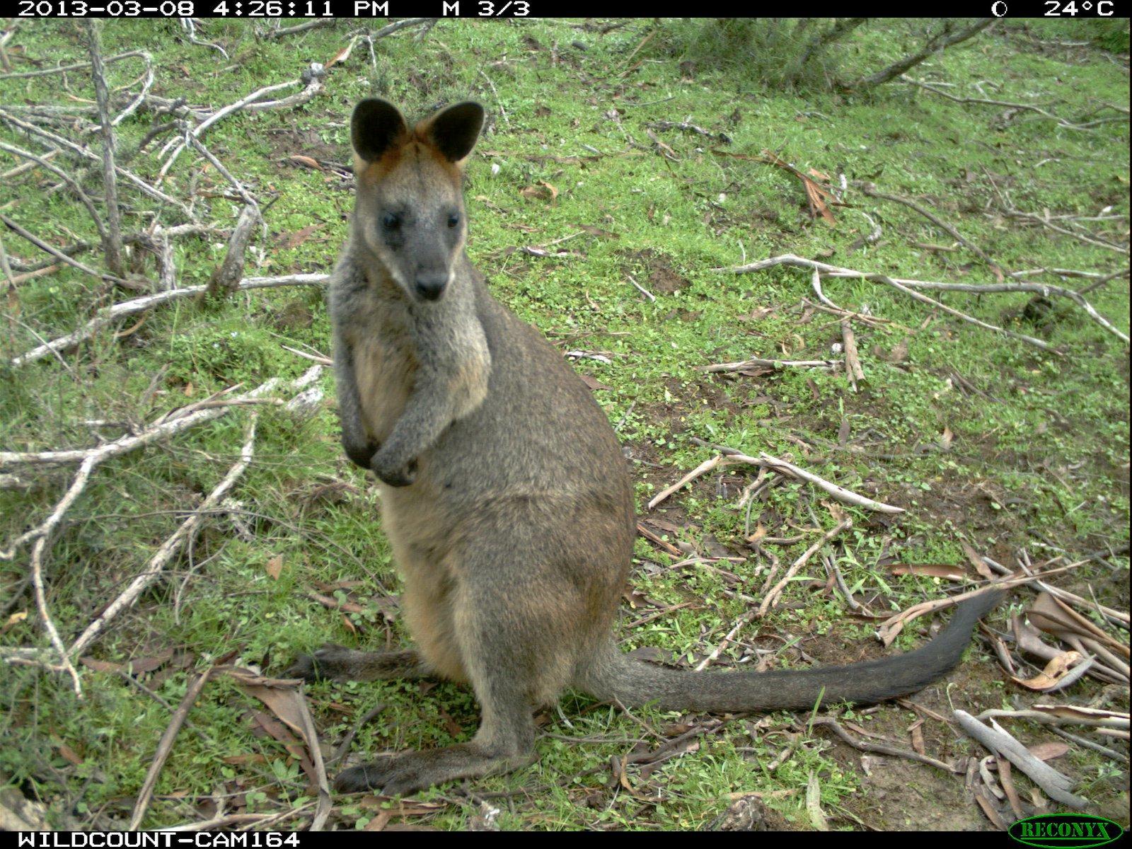 Wildlife Spotter camera trap capture