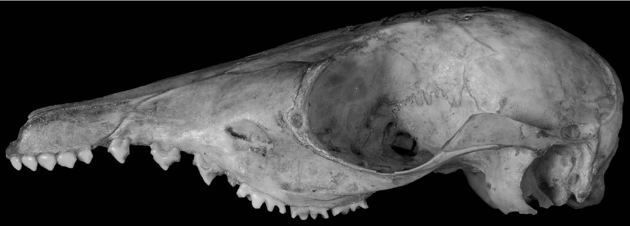 Pig-footed bandicoot - cranium lateral view