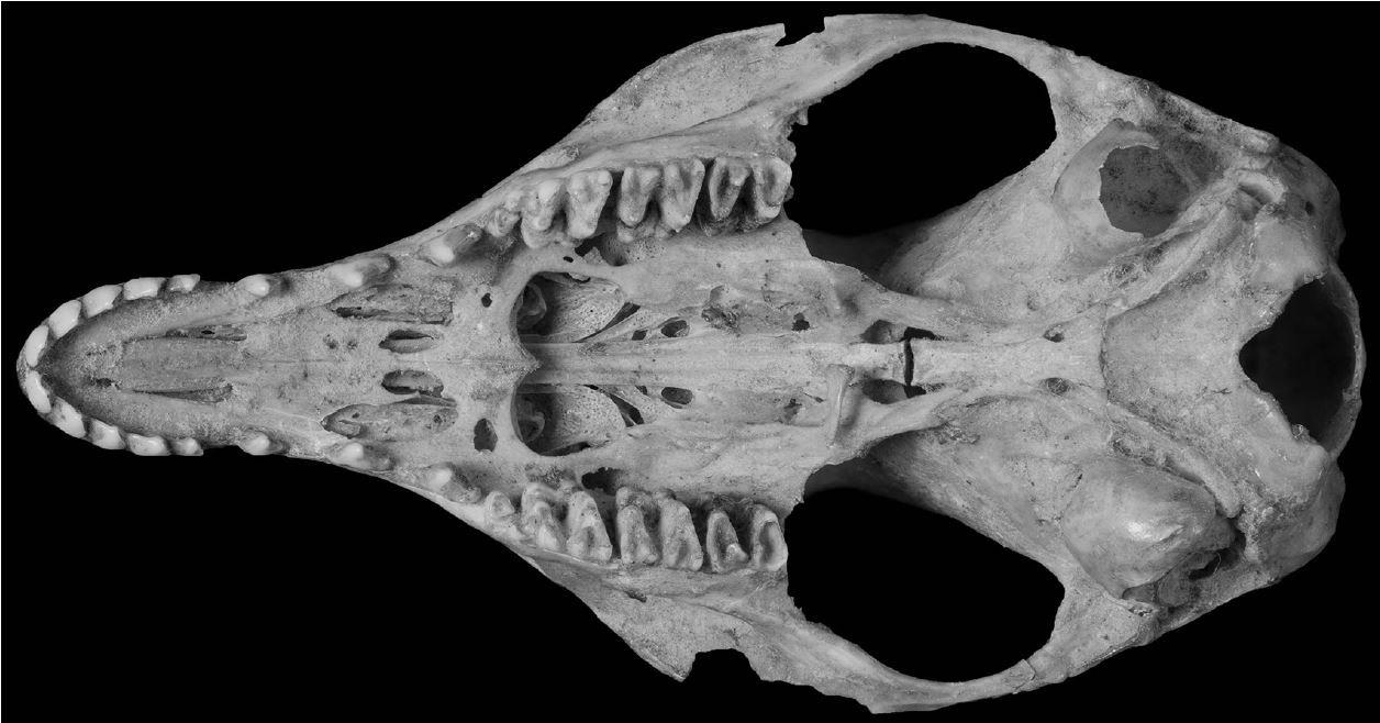 Pig-footed bandicoot - cranium ventral view