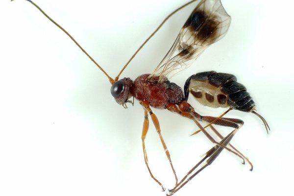 Pilbara Biodiversity Project Ichneumonidae msp. pilb-29