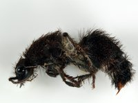 Pilbara Biodiversity Project Mutillidae msp. pilb-18