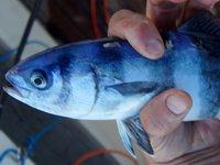 Pilotfish, Naucrates ductor