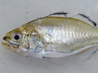 Pinkbreast Siphonfish, Siphamia roseigaster