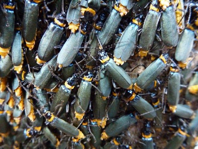 Plague Soldier Beetle